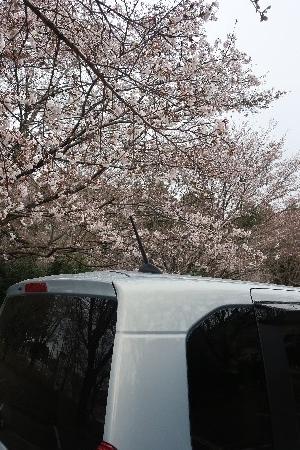 桜とN-BOX20190329-07