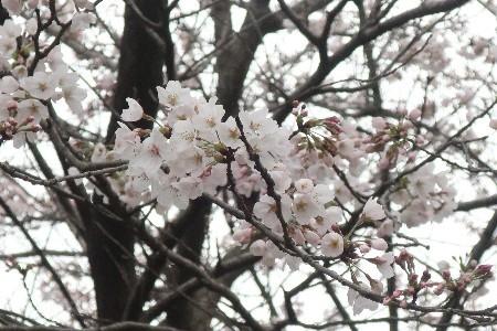 小貝川福岡堰20190330-3