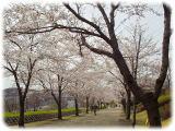 20020325sakura.jpg