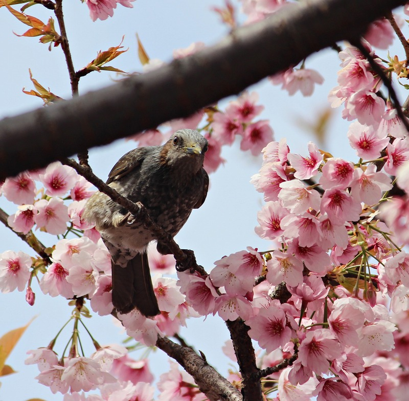 IMG_0044hiyodori.jpg