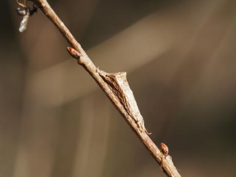 クロスジコブガ蛹か