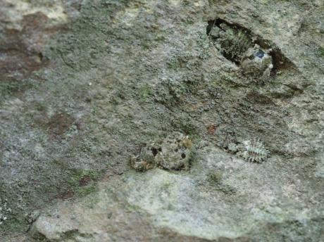 コマダラウスバカゲロウ幼虫2