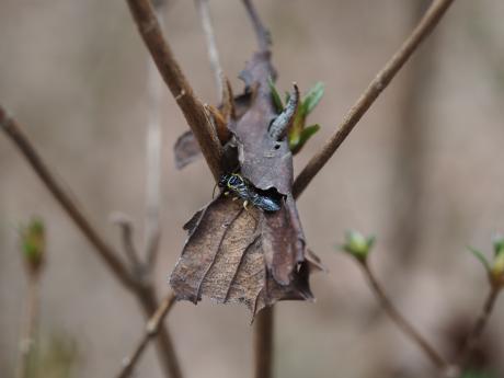 ヒラタハバチの一種