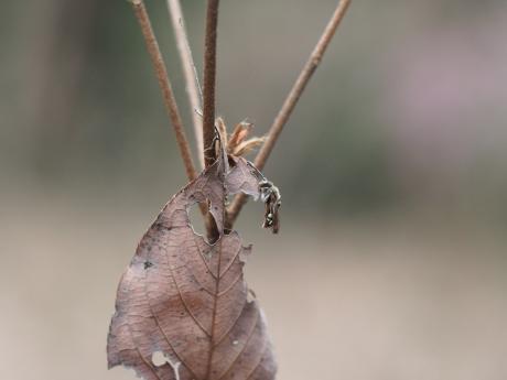 キマダラハナバチの一種2