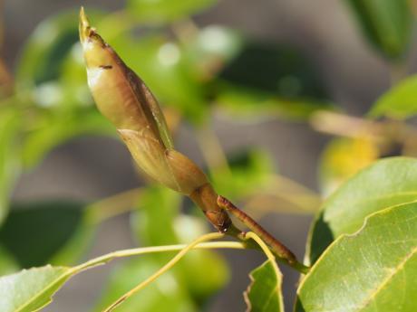 クスアオシャク幼虫