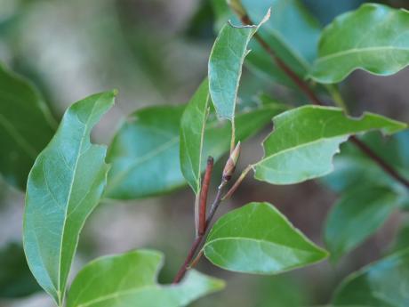 クスアオシャク幼虫6