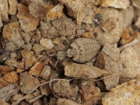ウスバカゲロウ幼虫
