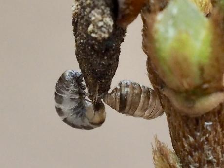 不明幼虫と2