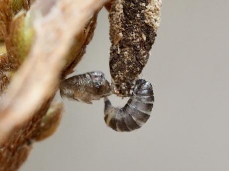 不明幼虫と3