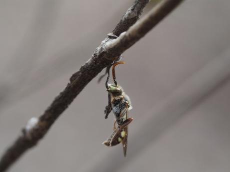 キマダラハナバチの一種
