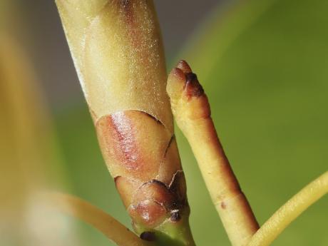 クスアオシャク幼虫2