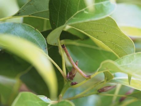 クスアオシャク幼虫4