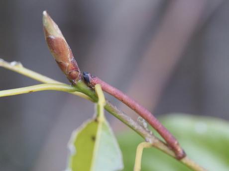 クスアオシャク幼虫3