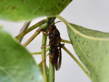 セグロアシナガバチORキアシナガバチ2