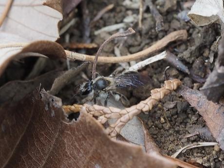 ヒメハナバチの一種か