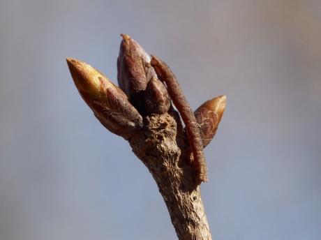 キバラヒメアオシャク幼虫
