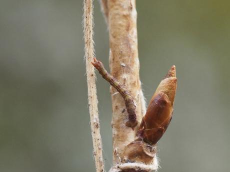 ヒロバツバメアオシャク幼虫