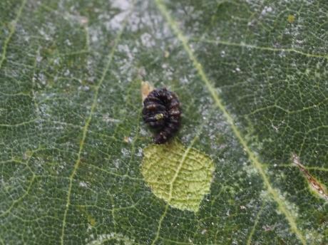 スカシカギバ幼虫2