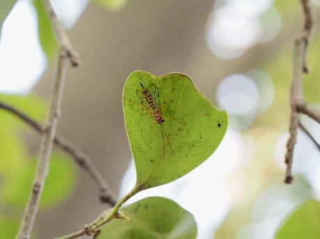 ミノオキイロヒラタヒメバチ5