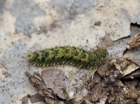 ミカドシリブトガガンボ幼虫か