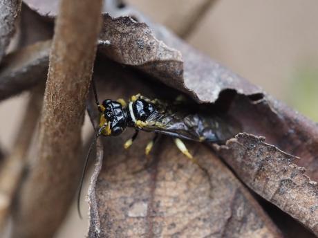 ヒラタハバチの一種2