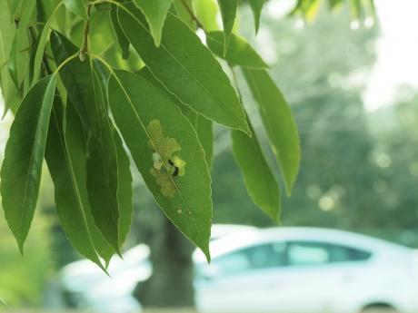 スカシカギバ幼虫