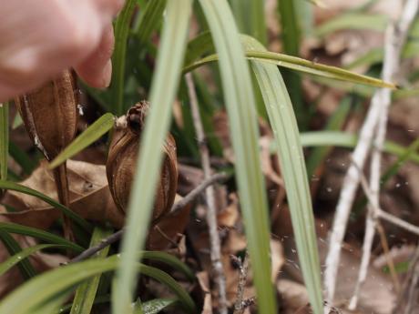 シュンラン種子