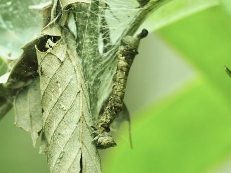 ハミスジエダシャク幼虫か2