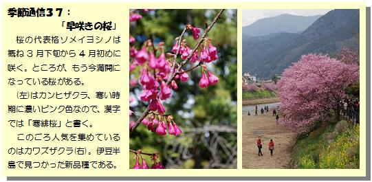 季節通信37早咲きの桜