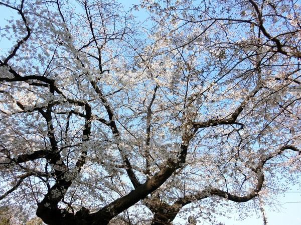 染井霊園の桜