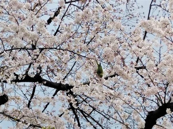 桜とインコ2019