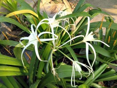 タオ島 花