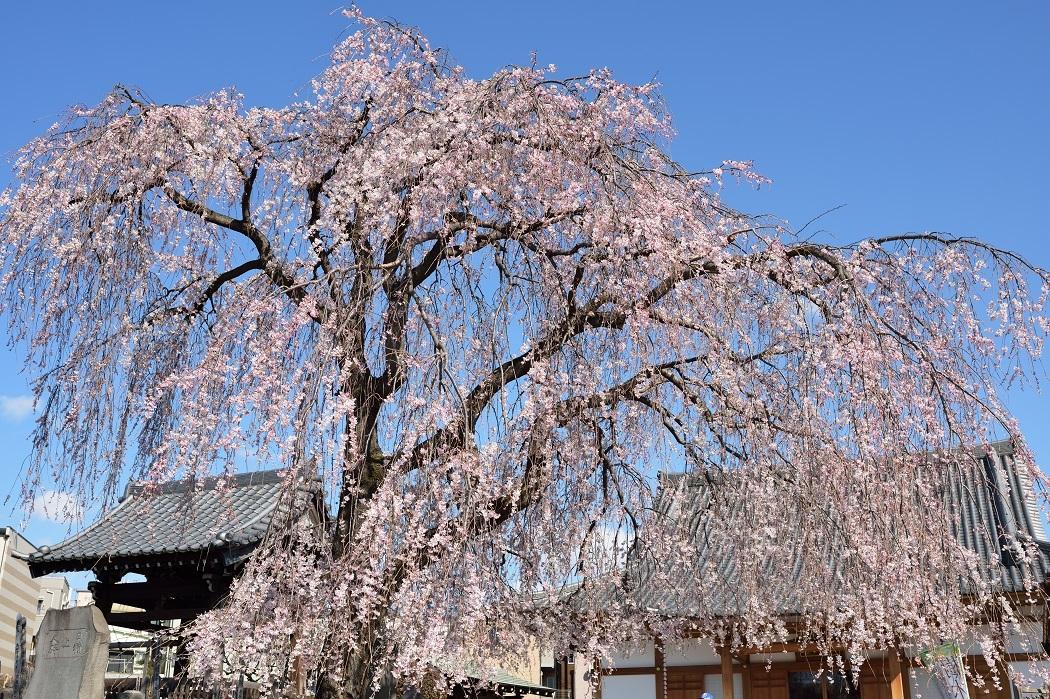桜だより第一号