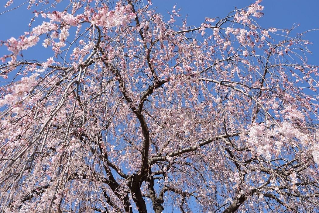 Sakura shower