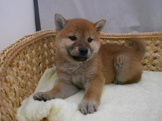 柴犬1月29日生