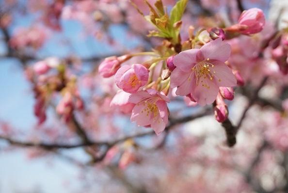 4B06 河津桜 0224