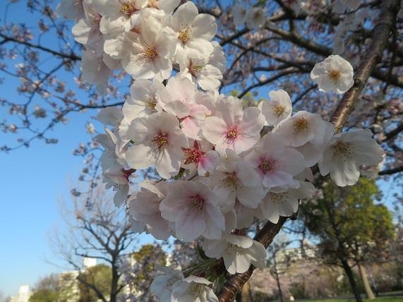 1B03 桜 0404