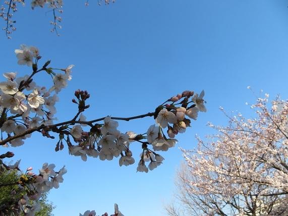 2B01  桜 0404