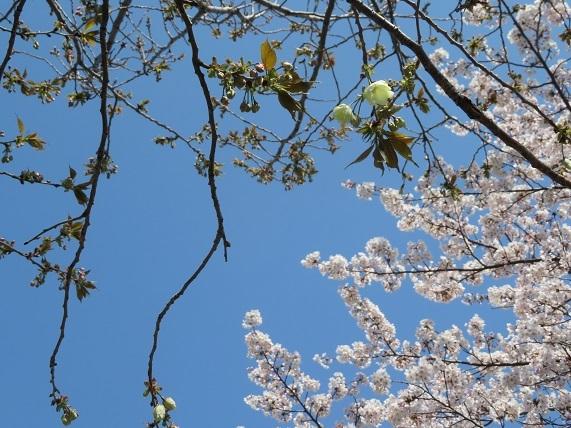 4H02 うこん桜 0406