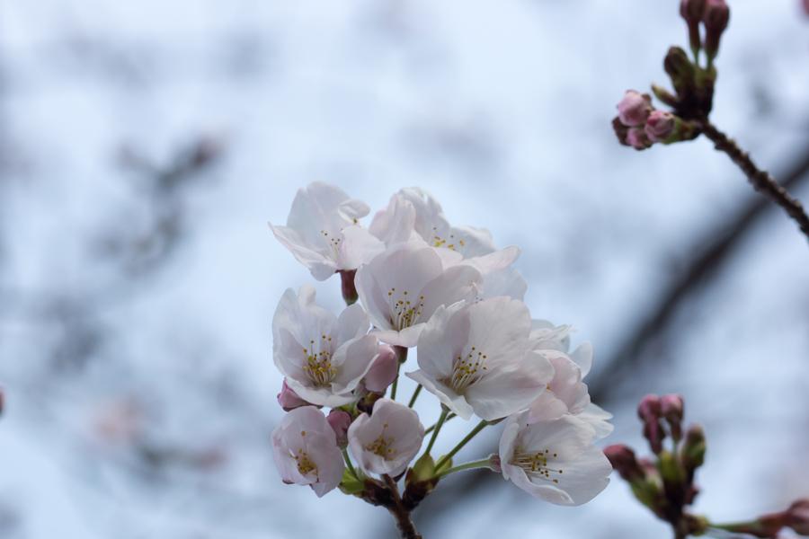 20190331_桜_3
