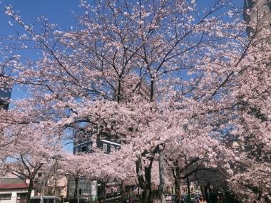 4AMANA付近桜満開