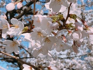 2019-03-26 桜