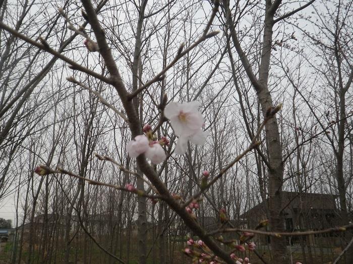 桜3_19_03_29