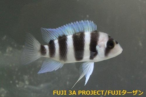 キフォティラピアギベローサブルーイコラ