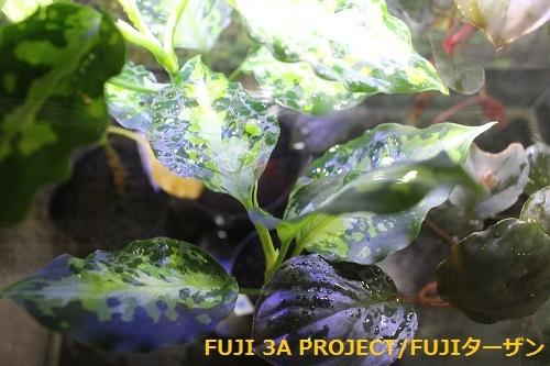 観葉植物 アグラオネマピクタム