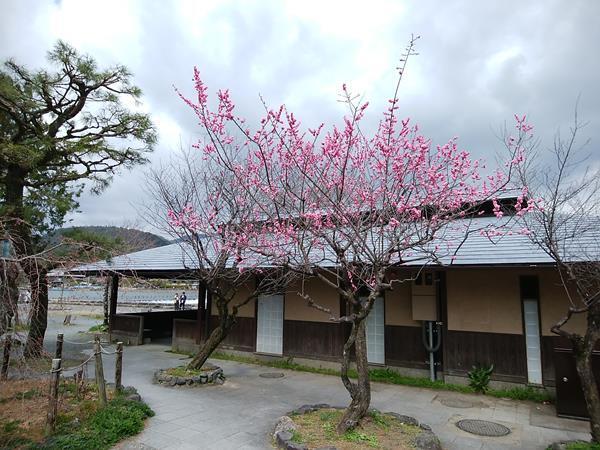 Hozugawa-2019-3-31-03.jpg