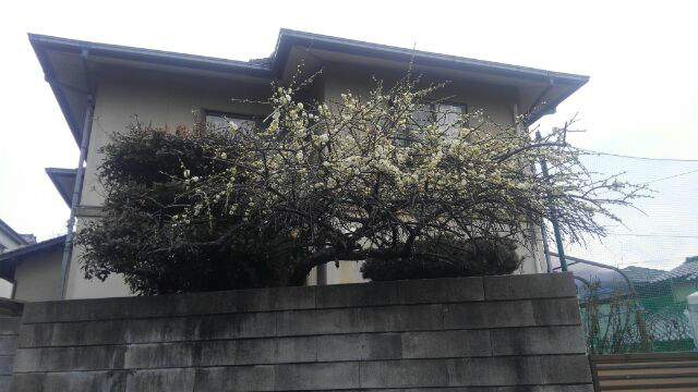 ss-庭の梅