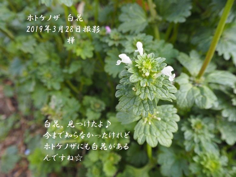 2019年3月28日ホトケノザ白花 2-