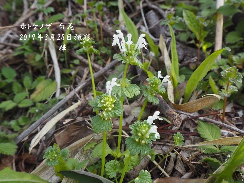 2019年3月28日ホトケノザ白花 - 3
