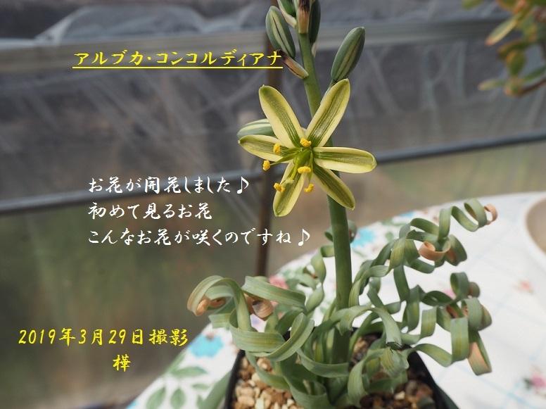 2019年3月29日アルブカ・コンコルディアナ開花 5